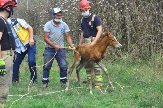Eyüp'te at ve yavrusunu kurtarma operasyonu
