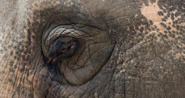 50 yıllık zincirlerinden kurtarılırken gözyaşlarını tutamayan fil Raju