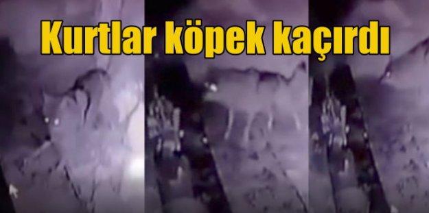 Kurtlar köpek kaçırdı: Köye inen kurt sürüsü bekçi köpeğini kaçırdı