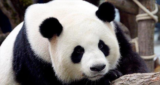 Çin'in 'diplomat pandaları'