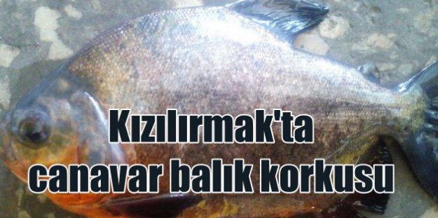 Kızılırmak'ta pirana balığı yakalandı: Denizlerin canavarı oltaya takıldı