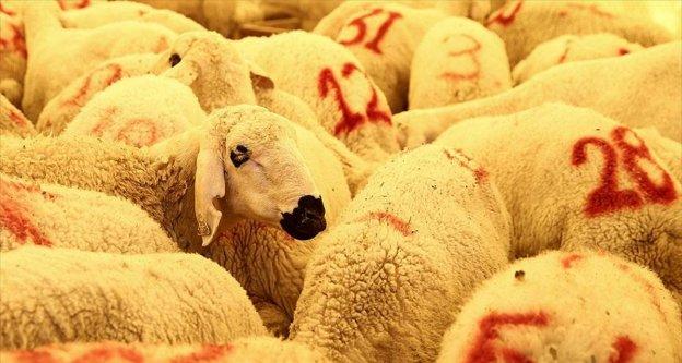'Et verimi için kurbanlıklar stresten korunmalı'