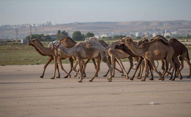 Şanlıurfa'da kurbanlık develer satışta