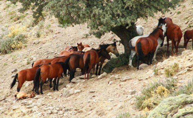 Mikroçipli yılkı atları sosyal hayatı renklendirecek