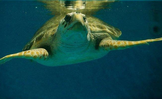 'Temiz denizde yüzmeyi kaplumbağalara borçluyuz'
