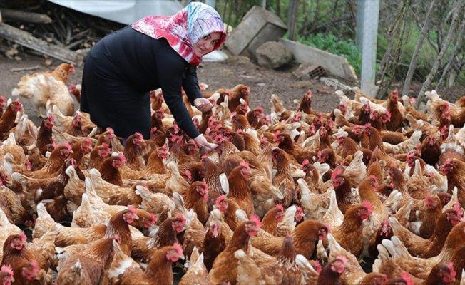 Ev hanımı organik yumurtadan ekmeğini çıkarıyor