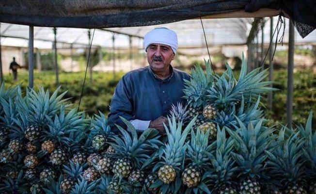 Gazzeli çiftçiler, az suya ihtiyaç duyan meyvelerden ananas üretti