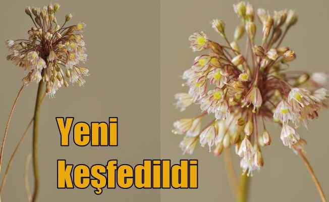İstanbul'da yeni bir endemik bitki keşfedildi