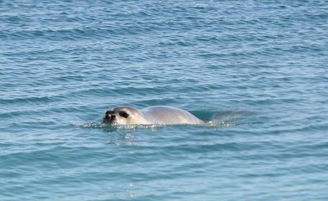 Konyaaltı Plajı'nda 'Akdeniz foku' heyecanı yaşandı