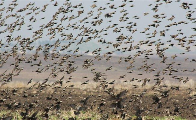 Manyas Gölü semalarında sığırcık kuşlarının görsel şöleni
