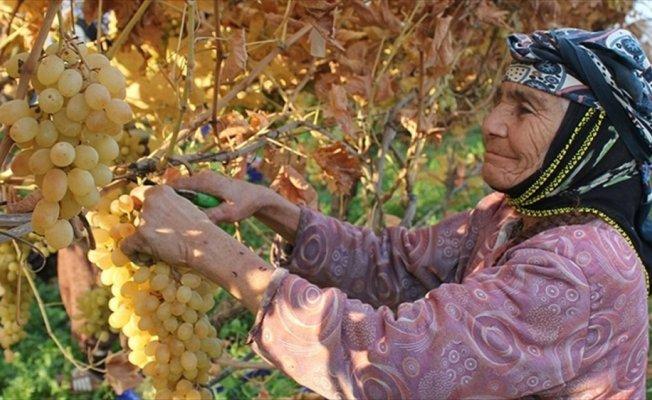 Kış mevsiminde üzüm hasadı