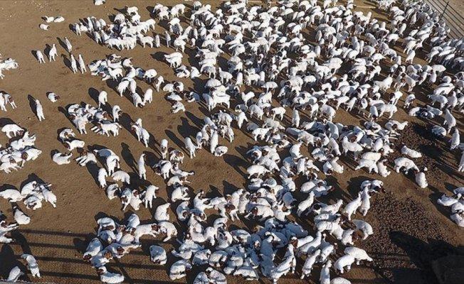 Türkiye'nin 'elit' kuzuları Ceylanpınar'da yetişiyor