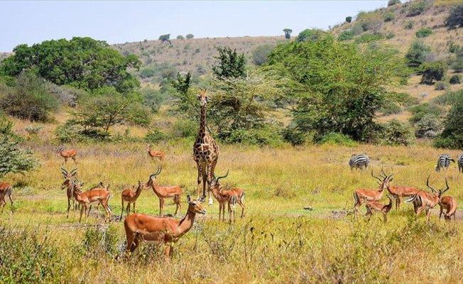Kenya'da başkentin göbeğinde safari heyecanı