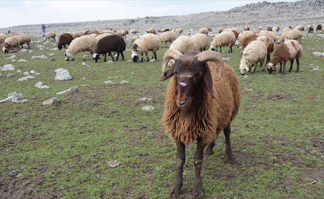 '300 koyun projesi' yetiştiriciyi umutlandırdı