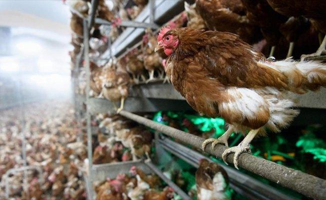 Canlı hayvan ihracatını tavuk ve horoz sırtladı
