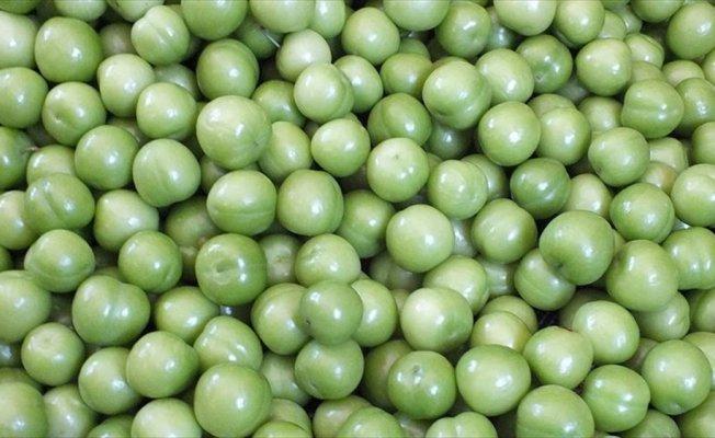 İlk hasadı yapılan eriğin kilogramı 150 liradan satıldı