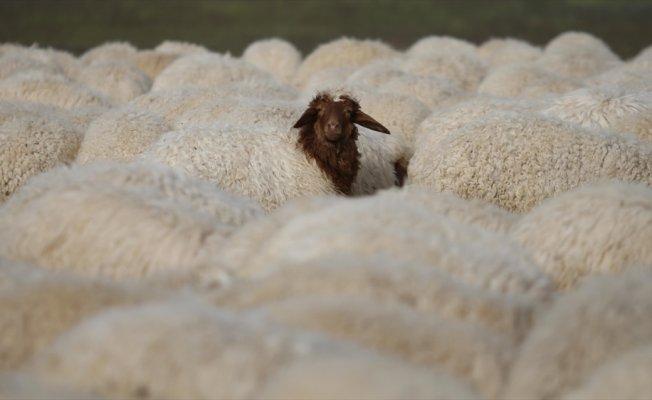 300 koyun projesi Şırnak'ta başlıyor