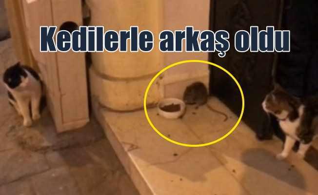 Cihangir'de sokak faresi, kedilerin arkadaşı oldu