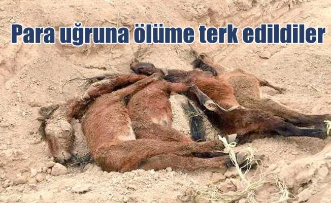 Konya'nın son yılkı atları ölüme terk edildi....
