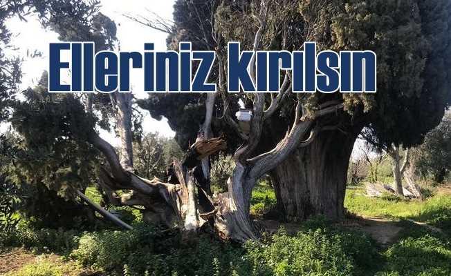 700 yıllık ağacı yakarak parçaladılar
