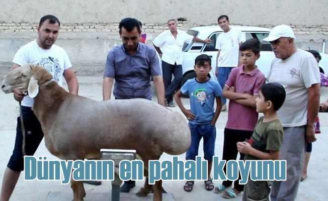 Dünyanın en pahalı koyunu | Sahibi 1 milyon dolara 'hayır' dedi