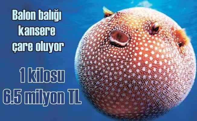 Balon balığı kanser tedavisinde kullanılıyor