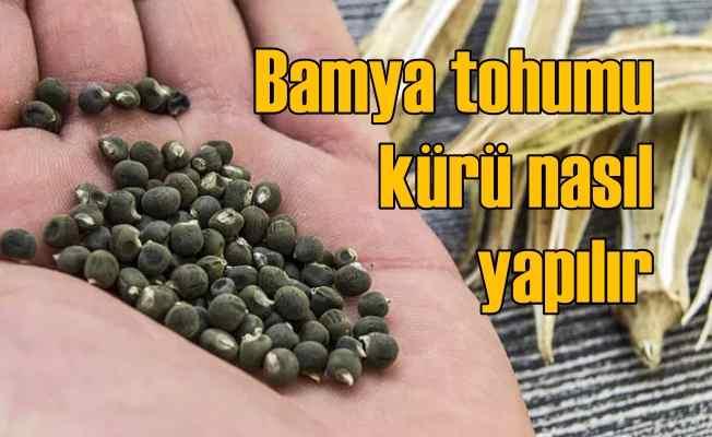 Bamya tohumunun faydaları nelerdir? Bamya tohumu kürü nasıl yapılır?