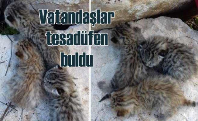 Dağ kedisi yavruları doğaya bırakıldı
