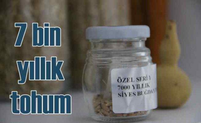 7000 yıllık tohum Bodrum'da