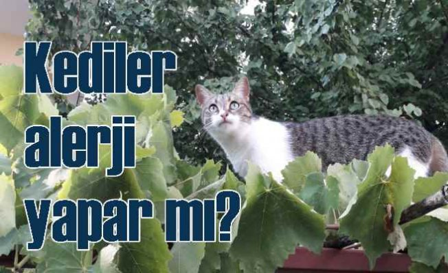 Alerji Yapmayan Kedi Var Mıdır?