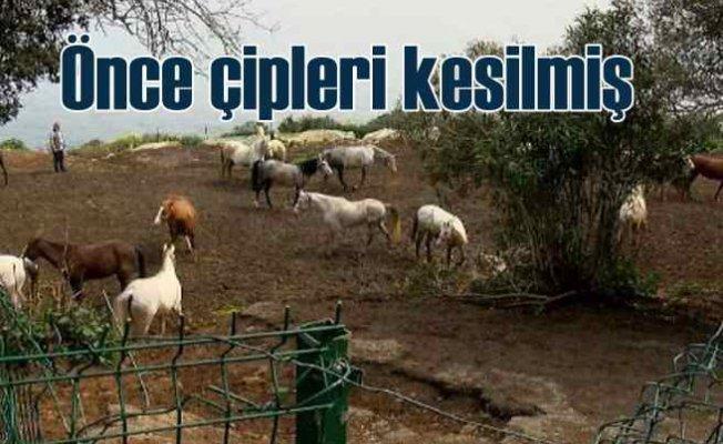 Kayıp atlar | Önce çipleri kesilmiş, sonra....