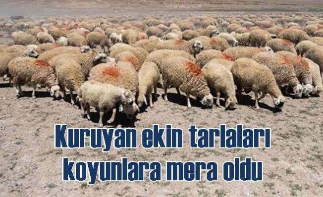Kuruyan ekin tarlaları koyunlara mera oldu