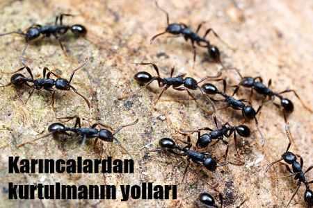 Karıncalar evden nasıl uzaklaştırılır?