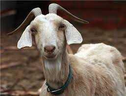 Keçileri Kaçırmak nedir? Ankara Keçileri'ne ne oldu?