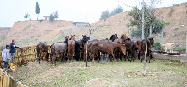 Adana'da kesilmeyi bekleyen 24 at ele geçirildi