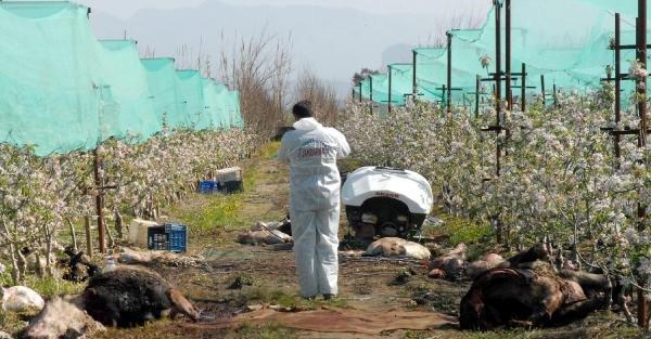 Çaldıkları 7 ineği elma bahçesinde kesip etlerini götürdüler