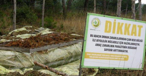 Gelibolu Yarımadası'na 2 bin avcı böcek salınacak