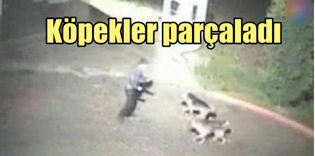 Güvenlik görevlisini kurt köpekleri parçaladı