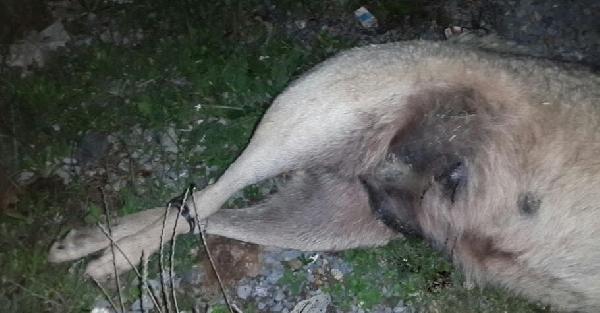 Köpeği Ayaklarından Bağlayıp Öldürdüler