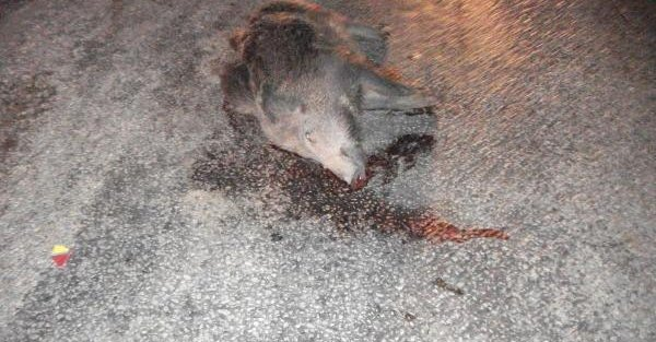 Motosiklet Çarpan Domuz Telef Oldu, Sürücü Yaralandı