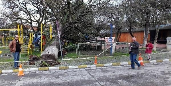 Tarihi meşe ağacı çocuk parkına devrildi