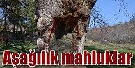 Silivri#039;de 400 yıllık çınar işkence: Siz hayvan demek bile ödül