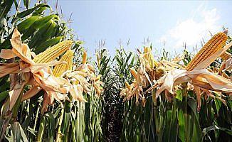 Bakan Fakıbaba mısır alım fiyatını açıkladı