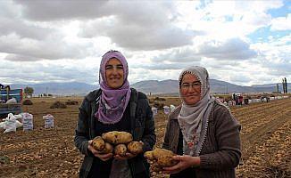'Kadın Elinde Yerli Patates' projesinde hasat başladı