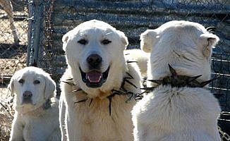 'En iyi sürü bekçi köpeği' için 6 ay sıra bekliyorlar