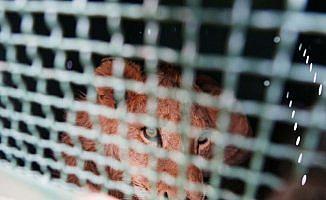 Turkish Cargo nesli tükenmekte olan hayvanları yuvalarına taşıyor