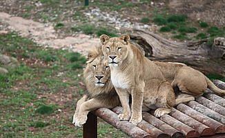 Cumhurbaşkanına hediye edilen aslanlar Gaziantep'i sevdi