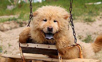Kaçak köpekler ihaleyle satılacak