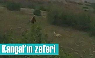 Kangal köpeği ile ayı karşılaşınca bakın ne oldu