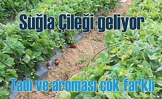 Çilek ekiminde rota Seydişehir Suğla Gölü'ne çevrildi.